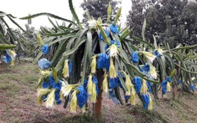 HEFONA DEL ECUADOR, empresa referencia  en cultivo de pitahaya